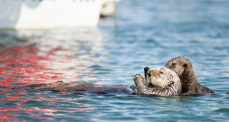 Homer Alaska Otters Kachemak Bay Wildlife Tour 49 North 750×400